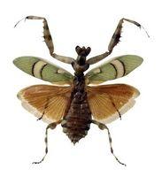 Las diferencias entre una mantis religiosa y de la metamorfosis de un insecto palo