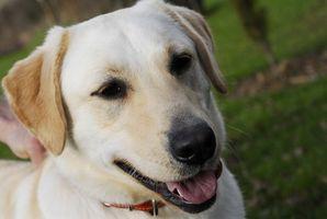 Cómo hacer que los alimentos para perros en casa de labradores