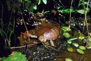 Cómo construir un buen hábitat para una tortuga pintada