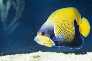 Cómo saber si un pez disco es un macho o una hembra