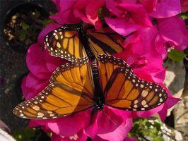 ¿Cómo se reproducen las mariposas?