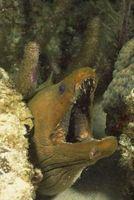 Cómo anguilas Trampa