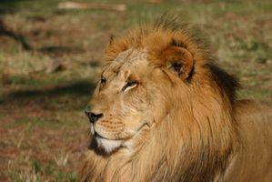 Sistema de respiración de un león africano