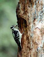 Cómo cuidar de un pájaro carpintero con un ala rota