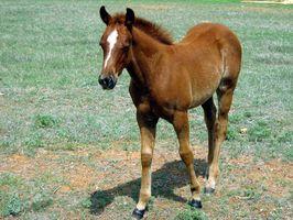 ¿Por qué un caballo de un año perderá sus dientes delanteros?