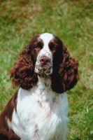 ¿Cuáles son los perros más fáciles de aumento?