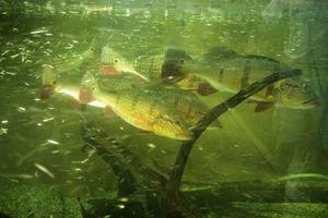 Cómo lidiar con las algas naturalmente en los tanques de peces