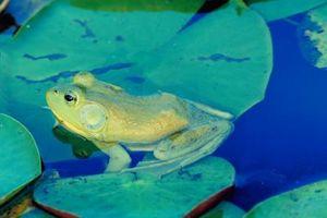Las ranas y sapos en Layton, Utah