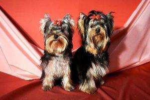 Diferencia entre Razas puras y perros de diseño