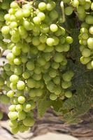 Cómo podar las uvas de vino