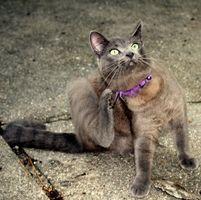¿Cómo deshacerse de las pulgas en los gatos el exterior