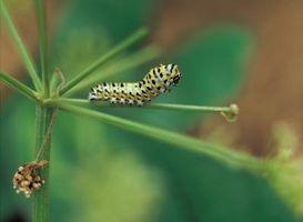 La segunda etapa del ciclo de vida de una mariposa
