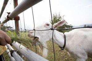 Cómo construir una cabra Trough