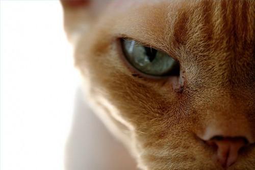 El costo promedio de la cirugía gato masculino castración