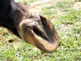 Cómo enseñar a su caballo en Pick Up sus pies en Cue
