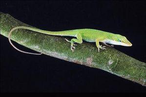 ¿Cómo se identifica un lagarto en mi patio?