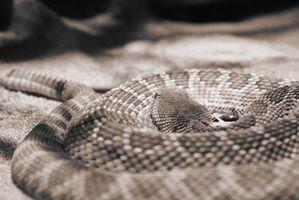 Ciclo de vida de una serpiente de cascabel
