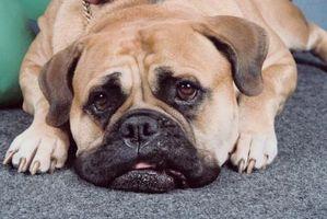 Cómo conseguir un olor a orina de perro de la casa y Tapetes