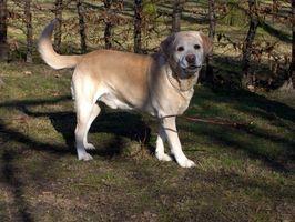 La información sobre el perro Las alergias y las infecciones de oído