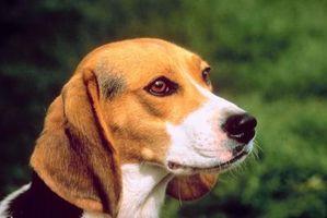 Juegos para jugar con su beagle