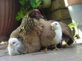 Desarrollo embrionario en aves de corral