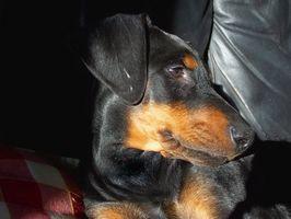 Remedios caseros para los puntos calientes pruriginosas en un perro