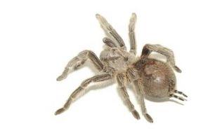 Tipos de Brown y arañas rojas en Colorado