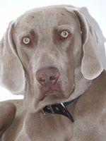 Una lista de los diferentes trastornos oculares y problemas en un perro