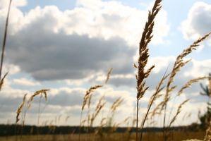 Diferencia entre roja y blanca de trigo