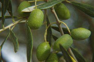 Cuál es el beneficio de oliva Mantequilla para el cuidado de la piel?