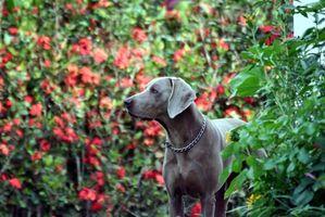 Cómo entrenar Perros de muestra para la caza