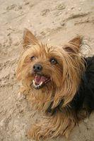 Cómo hacer una dieta casera para perros con displasia microvascular hepática