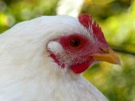 Efectos de la luz del sol en las gallinas ponedoras