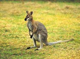 Datos interesantes sobre los mamíferos marsupiales