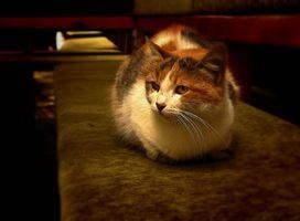 ¿Qué puedo darle a mi gato de envejecimiento para el dolor?