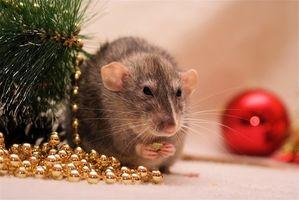 Cómo cuidar los ratones y las ratas