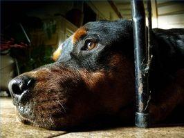 Curación natural para la diarrea en un perro