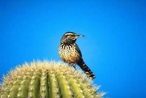 Aves del desierto de Sonora