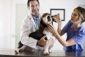 Signos y síntomas de los ácaros del oído canino