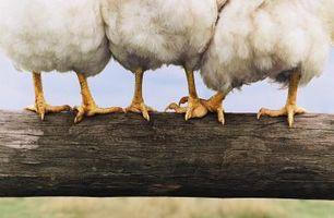 Los pollos de engorde hacer poner huevos?