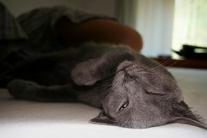 ¿Qué puedo alimentar a mi gato con altos niveles de creatina?