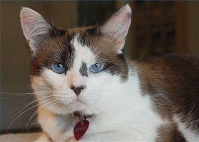 Acerca de tiroides Tumores en los gatos
