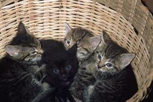 Remedios caseros para las pulgas en gatitos recién nacidos