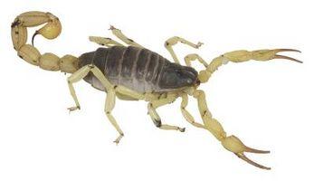 Los escorpiones mortales del desierto iraquí