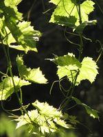 ¿Cómo a la presión de cocinero frescas hojas de la uva