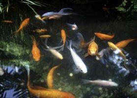 Compañeros de acuario para Goldfish Común