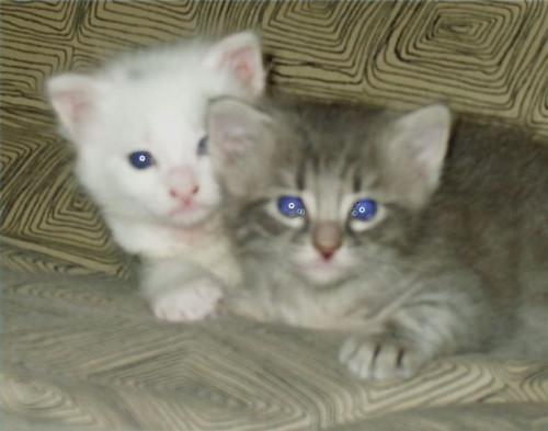 Cómo destetar a los gatitos