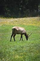 Cómo atraer a los ciervos y alces