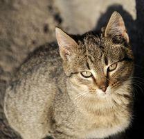 Enfermedades que causan los gatos de vomitar