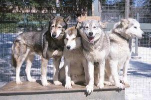10 cosas que debe saber antes de adoptar un husky siberiano